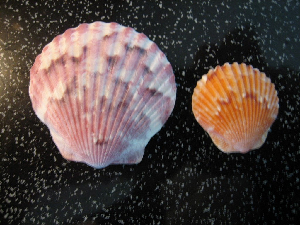 Calico Scallops and Clams