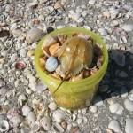 Bucket with Horseshoe Crab