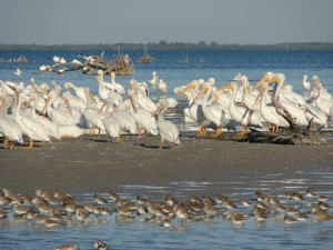 white pelicans on a bar