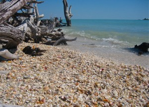 Loads of shells in the tree roots on Cayo Costa