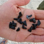 Shark's teeth found on Cayo Costa