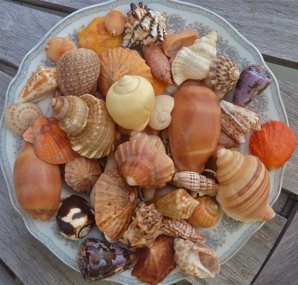 Seashells from Panama