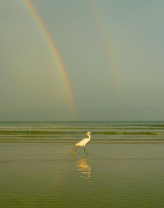 Snowy Egret Under the Rainbow