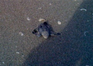 Susie's sea turtle scooting