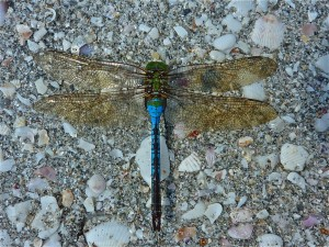 Dragonfly on the beach