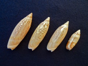Bali Olive seashell