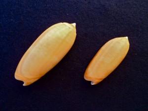 Bali Olive shell