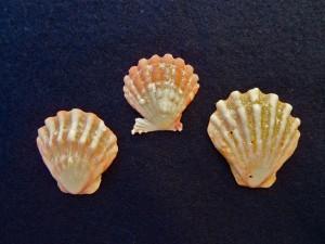 Bali Scallop shells