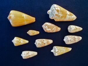 Bali cone shells