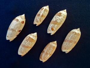 Bali olive seashells