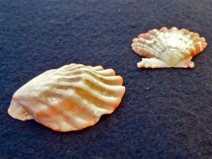 Bali scallop seashells side view