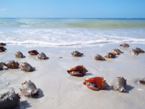 Conchs on Bonita Beach Florida