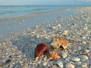 Fighting conchs on beach