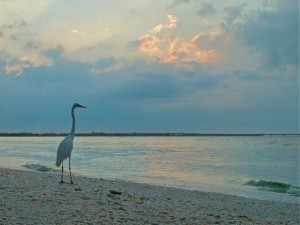 Great White Heron Sanibel lighthouse