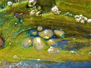 Live Limpets
