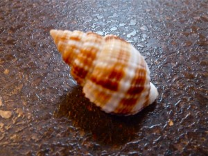 Nutmeg seashell