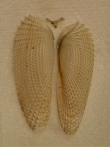 Angel Wing shell pair