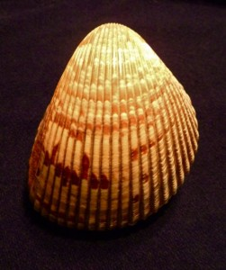 Atlantic Giant Cockle shell, Sanibel, Florida