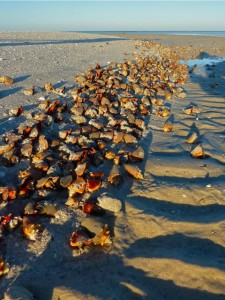 Bonita Springs Fighting Conchs