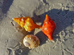 Horse conch, true tulip, moon snail