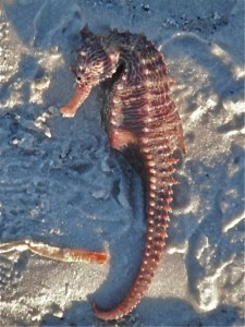 Sea Horse on Sanibel Island, Florida beach