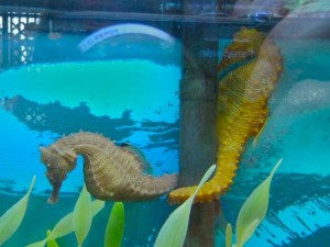 Tarpon Bay Explorers Sea Horses