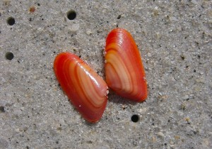 Coquina red