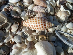 Junonia sea shell on sand bar