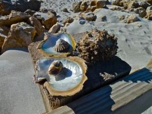 Panama shells