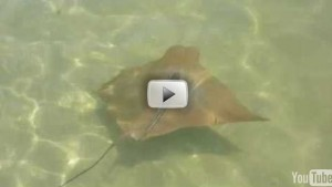 manta ray youtube pic
