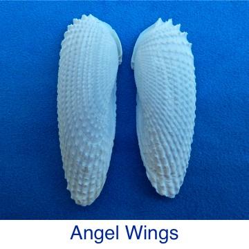 Angel Wings seashell Identification