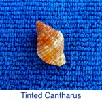 Cantharus Tinted seashell identification