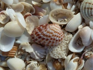 Cardita seashell