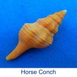 Conch - Horse ID