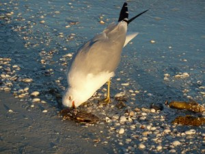 Gull eating seashell