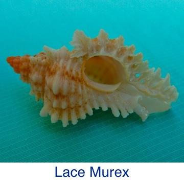Murex - Lace ID