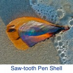 Pen Shell- Saw-tooth ID