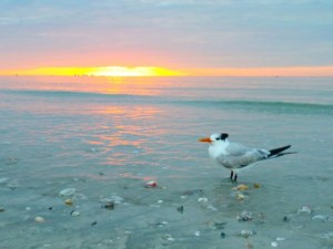 Royal Tern sunrise