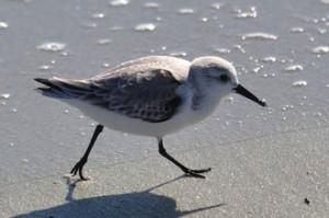 Sanderling bird
