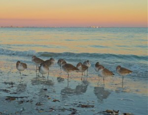 Sanibel Willet birds