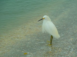 Snowy Egret shelling