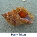 Triton- Hairy