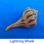 Whelk - Lightning ID