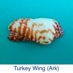 Ark Turkey Wing Shell ID