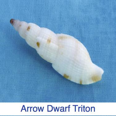 Arrow Dwarf Triton Shell ID