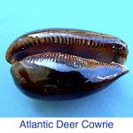 Atlantic Deer Cowrie ID