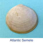 Atlantic Semele shell id