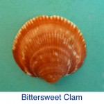 Bittersweet Clam Shell Identification