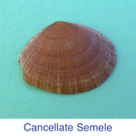 Cancellate Semele shell ID