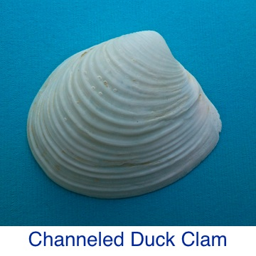 Channeled Duck Clam Shell ID